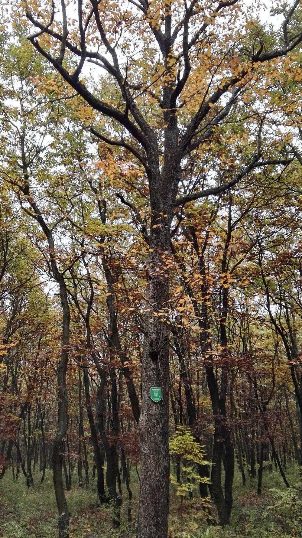 Naturdenkmal Elsbeere